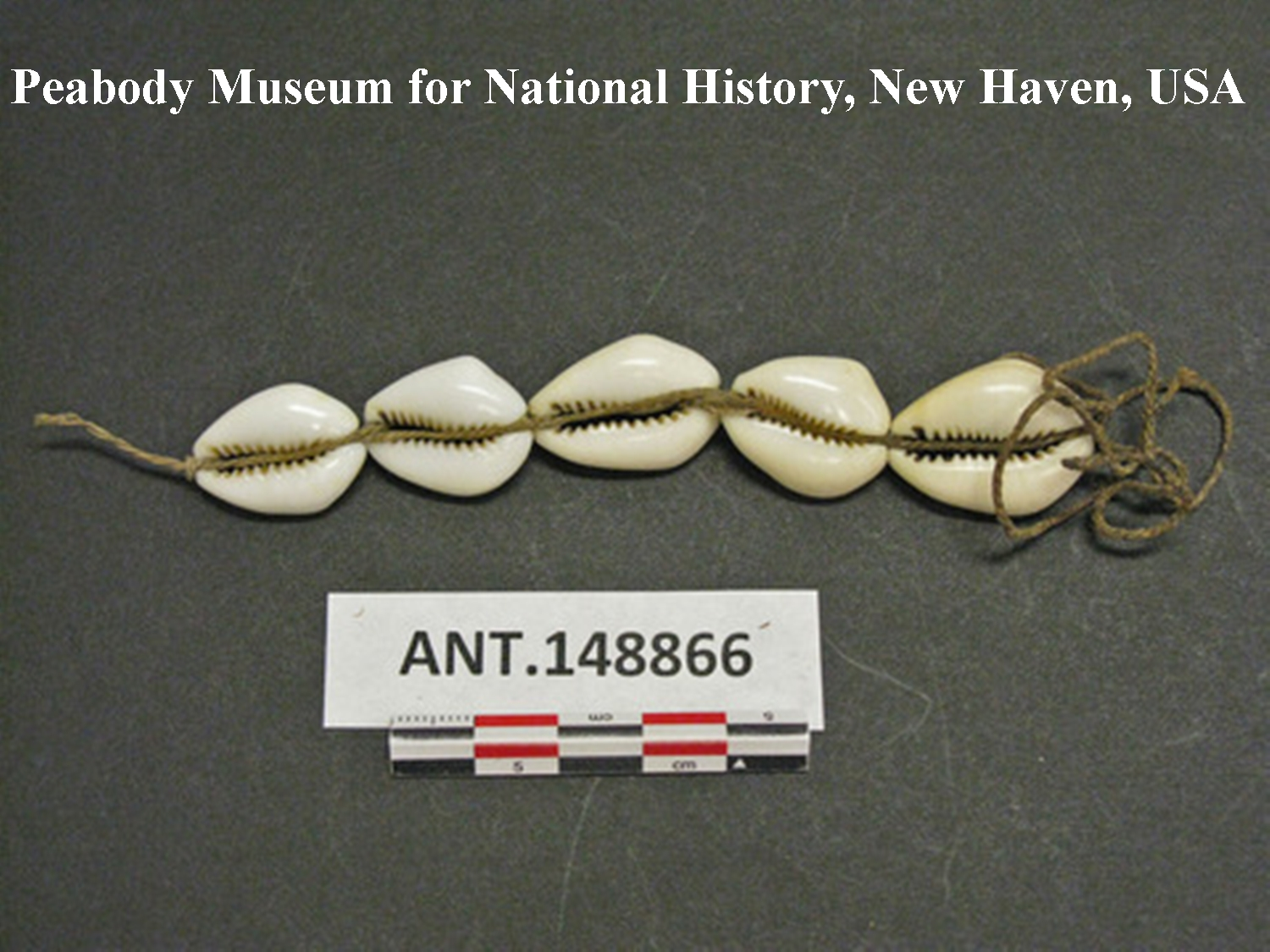 """Abb. 4: """"tuani mege"""", von den Weißen eingeführt, aber schon lange im Gebrauch. Beschreibung: 5 cowry shell strung on inner bark string, used as shell money """"tuani mege"""" (im Text auch """"tuanikaa"""" genannt) all introduced by white man, but longer time in use. Low value. Length 4 ¼ in. Southern Kamu Valley, Kapauku. Netherlands New Guinea."""
