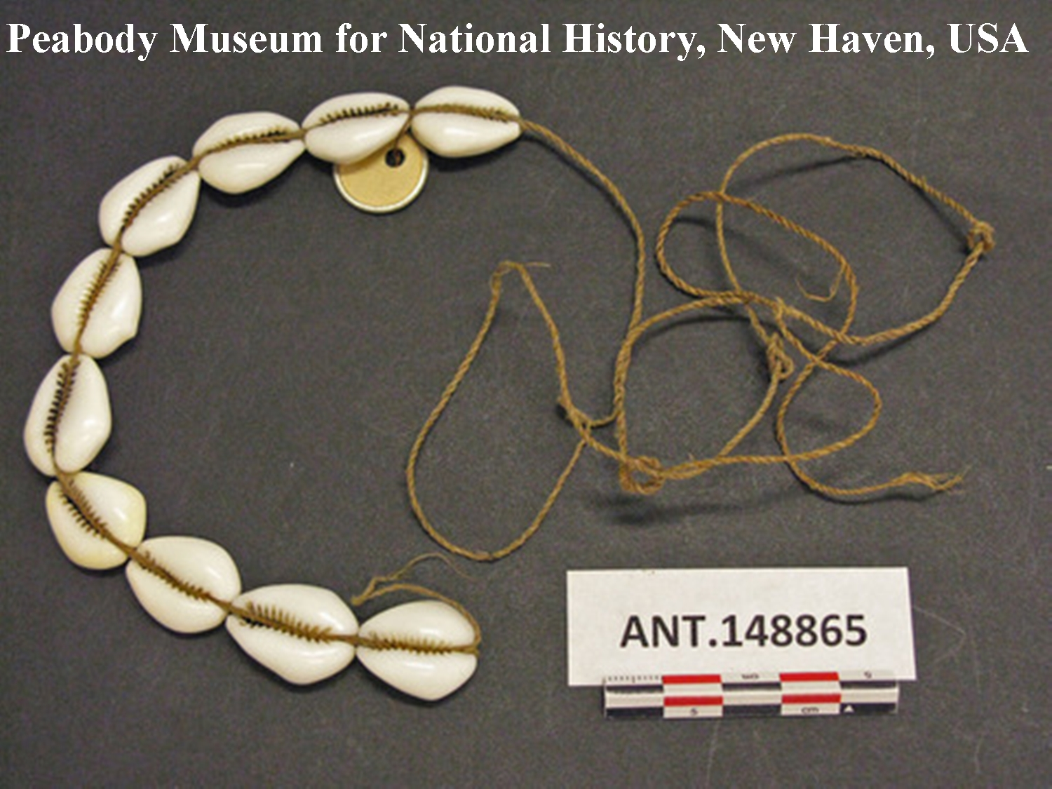 "Abb. 5: ""tuani mege"", von den Weißen eingeführte Kauris von geringem Wert. Beschreibung: 10 cowries strung on inner bark string, used as shell money ""tuani mege"". All are recently made pieces of shell introduced by white man. Low value. Length 7 ¾ in. Southern Kamu Valley, Kapauku, Netherlands New Guinea."